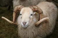 Ein dickes Wollfell lässt die Zwergschafe, die zwischen 15 und 20 kg wiegen, im Winter viel größer aussehen
