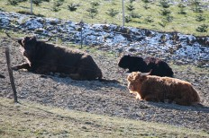 Sichtlich erschöpft ruhen sich die drei Stiere nach ihrem unfreiwilligen Abenteuer aus