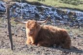 Auch ein friedlicher, massiger Stier lässt sich von aggressiven Hunden aufscheuchen